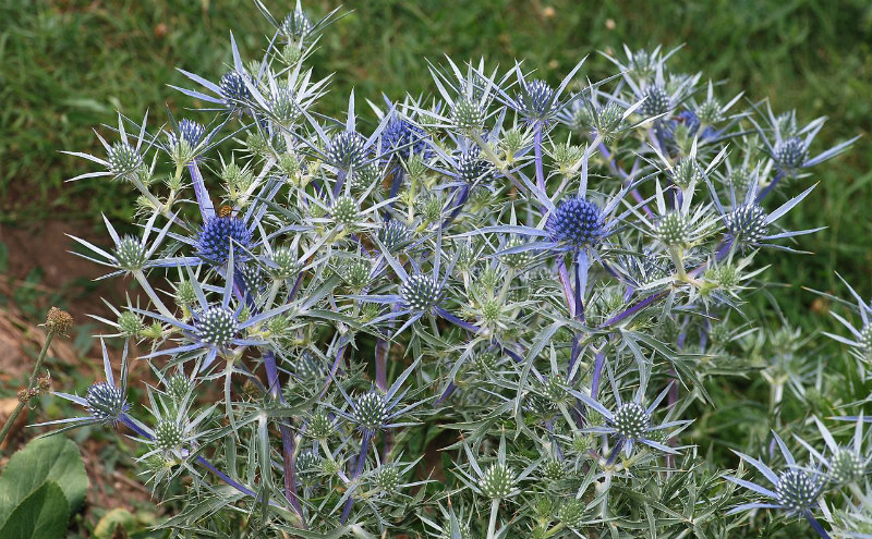 drought resistant sea holly