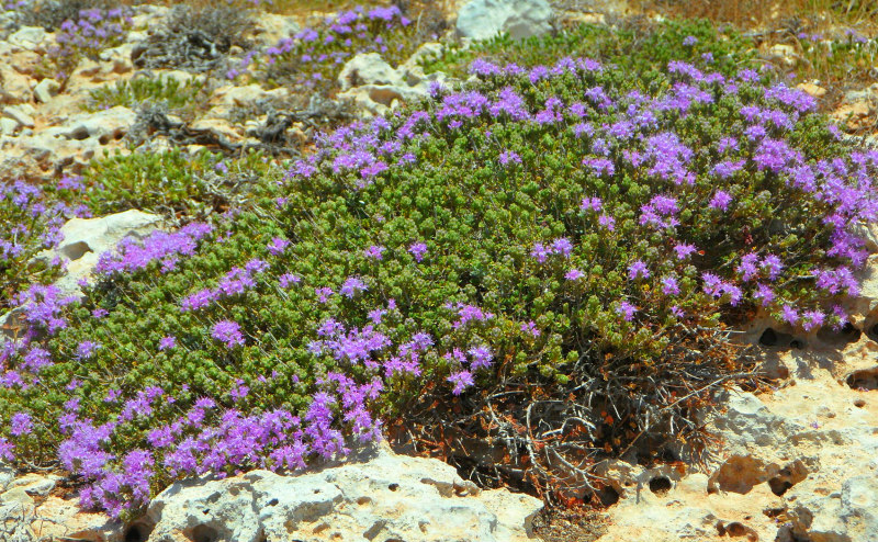drought resistant thyme