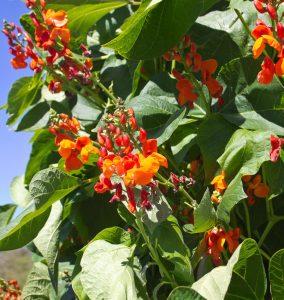 runner beans for the edible balcony garden