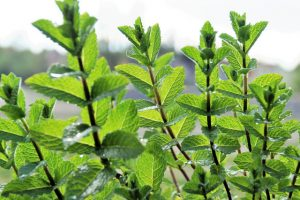 mint top crops for your balcony garden