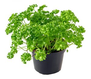 parsley - top crops for your balcony garden