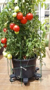 tomatoes - top crops for your balcony garden